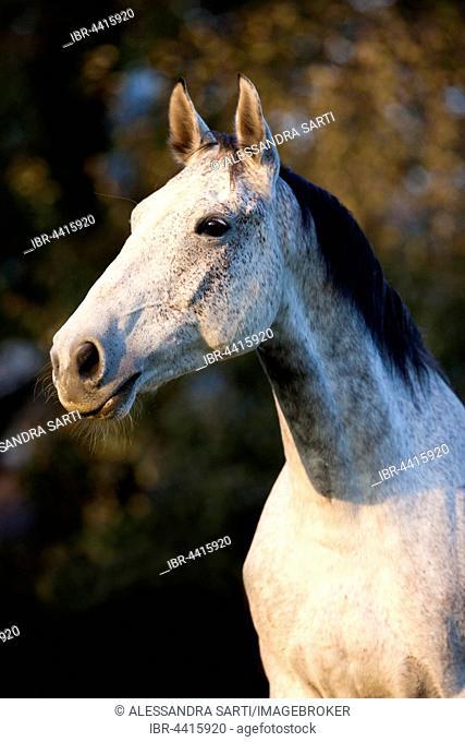 Holsteiner, Fliegenschimmel, horse, autumn, portrait, Tyrol, Austria