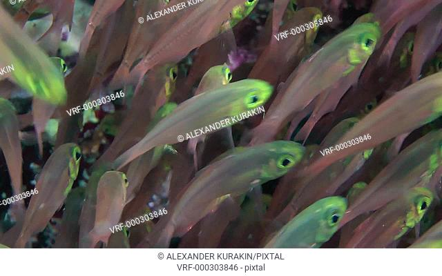 A flock of Pigmy sweeper (Parapriacanthus ransonneti) swims in front of the camera, close up