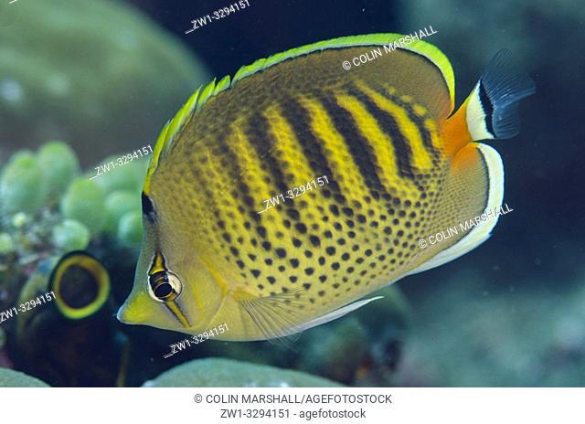 Spot-Banded Butterflyfish (Chaetodon punctatofasciatus), Dropoff dive site, Seraya, near Tulamben, Bali, Indonesia