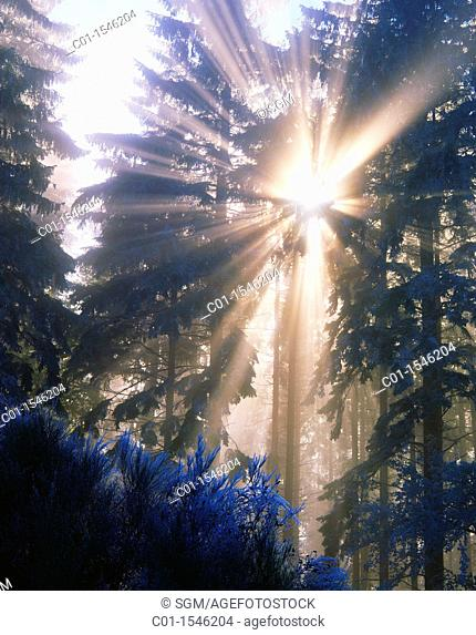 Sun rays through fir trees, Vosges mountains, Alsace, France