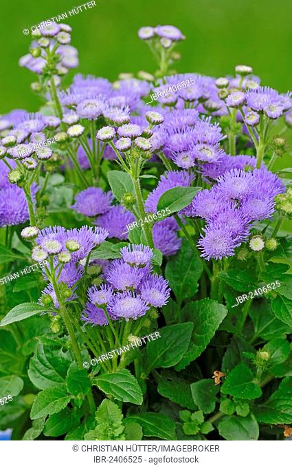Flossflower, Bluemink, Blueweed, Pussy Foot or Mexican Paintbrush (Ageratum houstonianum, Ageratum mexicanum), garden plant, ornamental plant