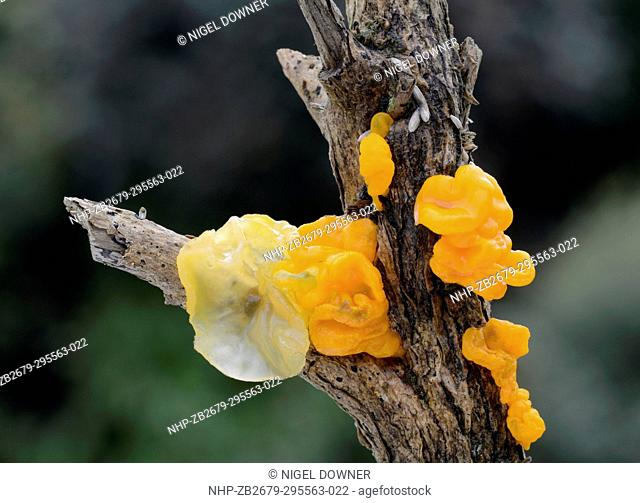 Close-up of Yellow brain fungus (Tremella mesenterica) showing the younger yellow stage and older orange form, growing on a gorse branch in a mixed woodland...