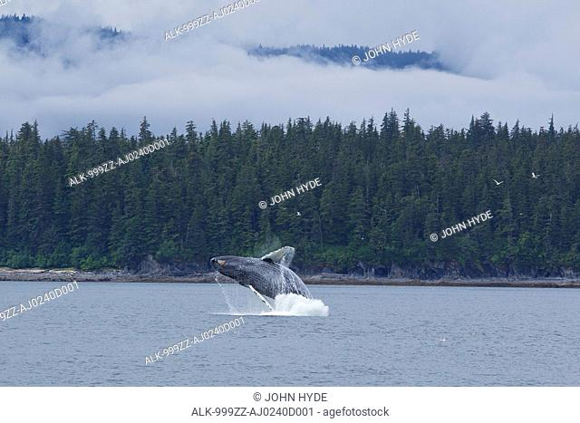 Humpback whale breaches in Chatham Strait near Chichagof Island, Tongass National Forest, Southeast Alaska, Summer