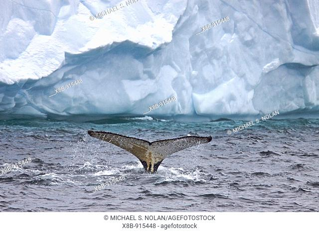 Humpback whale Megaptera novaeangliae fluke-up dive near the Antarctic Peninsula  One of the larger rorqual species, adults range in length from 1216 metres...