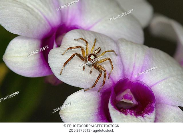 Male jumping spider, Telamonia dimidiata photographed on an orchid flower