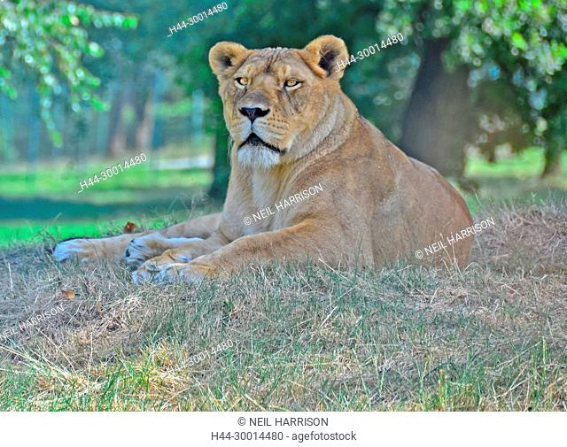 Lioness lying on the ground studying her prey