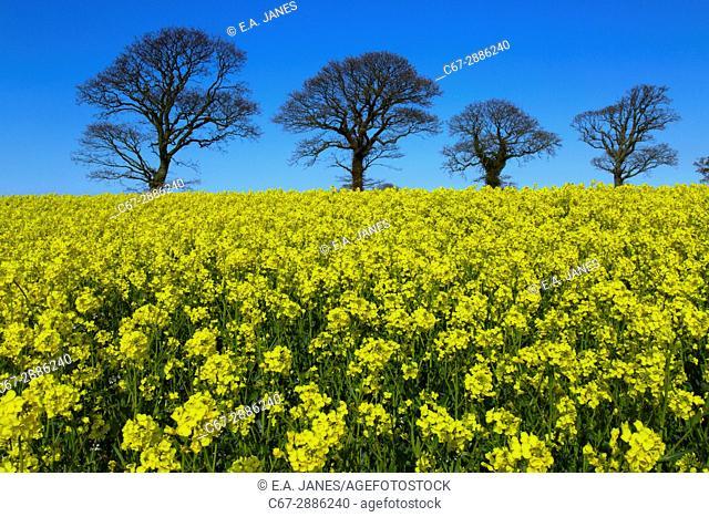 Oilseed Rape Field and bare oaks against blue sky