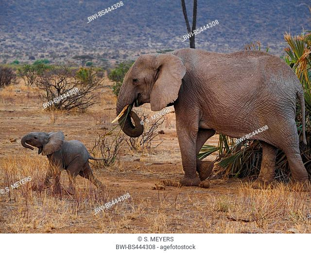 African elephant (Loxodonta africana), cow elephant with elephant calf in the savannah, side view, Kenya, Samburu National Reserve