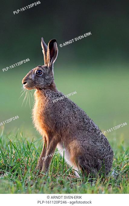 European Brown Hare (Lepus europaeus) female sitting in grassland