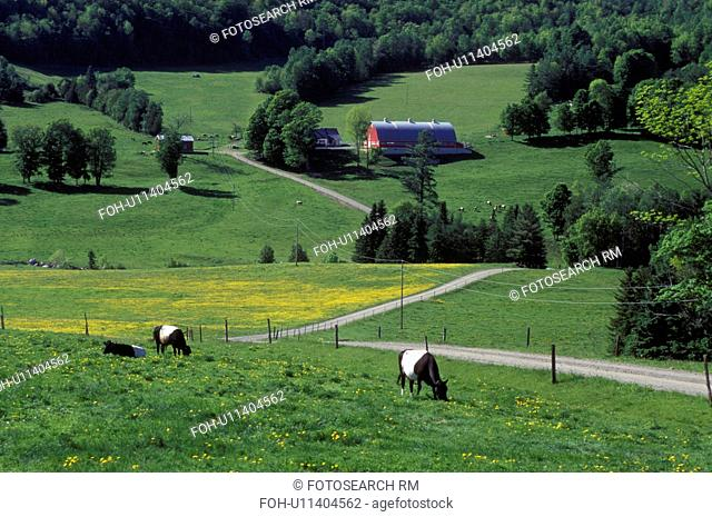 Vermont, Dutch-Belted cows grazing in a pasture on Diamond Heart Farm in the spring