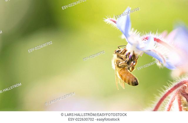 Bee close up with copy space. Beautiful summer nature detail with pollination of flower in garden. Concept of making honey, ecosystem and insect wildlife