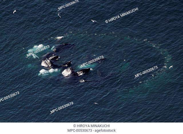 Humpback Whale (Megaptera novaeangliae) group in bubble net, cooperative /ngulp feeding, southeast Alaska