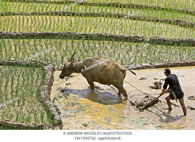 Farmer with buffalo plough tills rice terraces near Sapa Vietnam