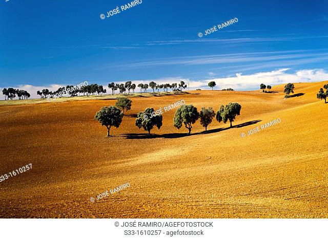 Holm oaks in the fields of Mandayona  Guadalajara  Castilla la Mancha  Spain