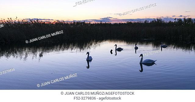 MUTE SWAN - CISNE VULGAR â. ‹ (Cygnus olor), Danube Delta, UNESCO WORLD HERITAGE, Tulcea County, Romania, Europe