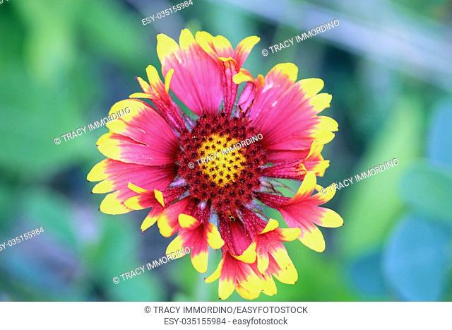 Close up of a single bloom of Blanket Flower, Gaillardia Aristata, using a bokeh effect