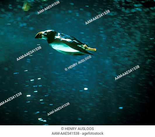 Horned Puffin (Fratercula corniculata) Alaska - swimming underwater