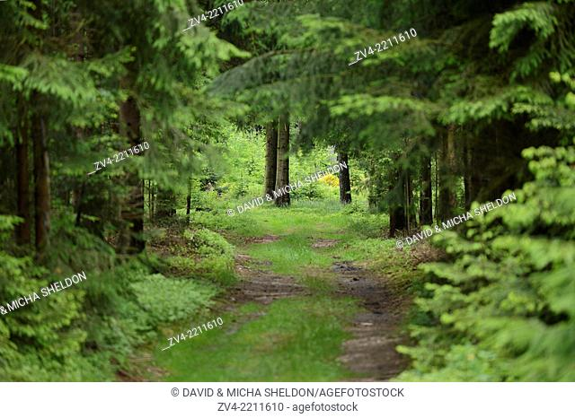 Landscape of a little road going through a Norway spruce (Picea abies) forest, Upper Palatinate, Germany