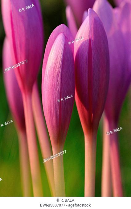 Meadow saffron, Naked lady, Autumn crocus (Colchicum autumnale), closed flowers in the morning, Germany