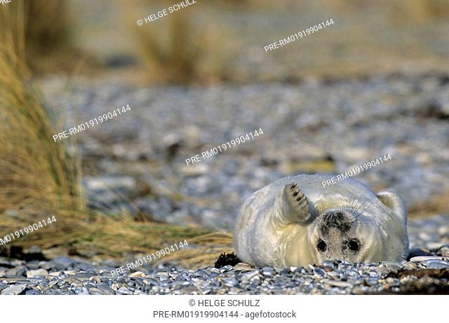 Grey Seal, pup, Gray Seal, Halichoerus grypus
