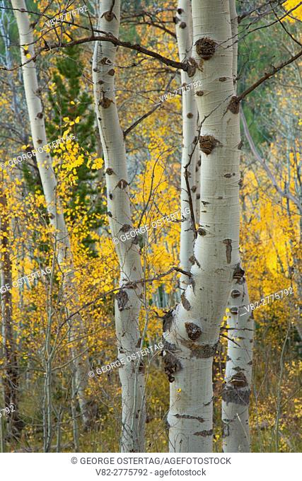 Quaking aspen trunks, Targhee National Forest, Idaho