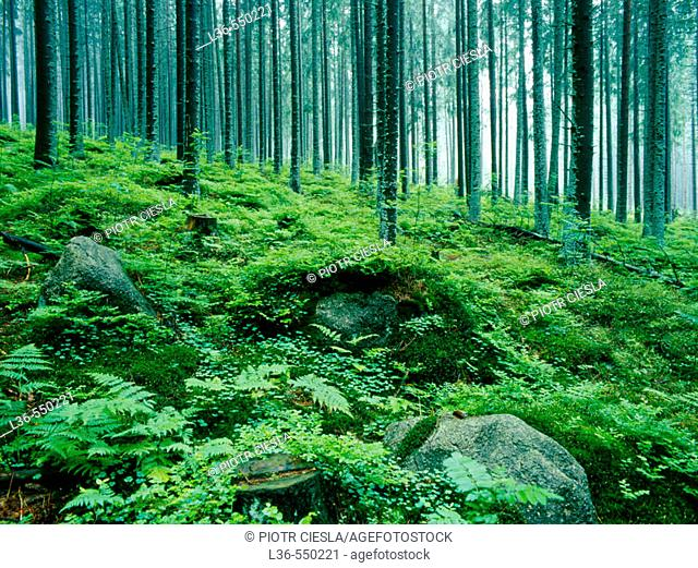 Forest in the Tatra mountains