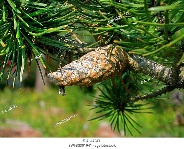 gray pine, jack pine (Pinus banksiana), cone on a branch