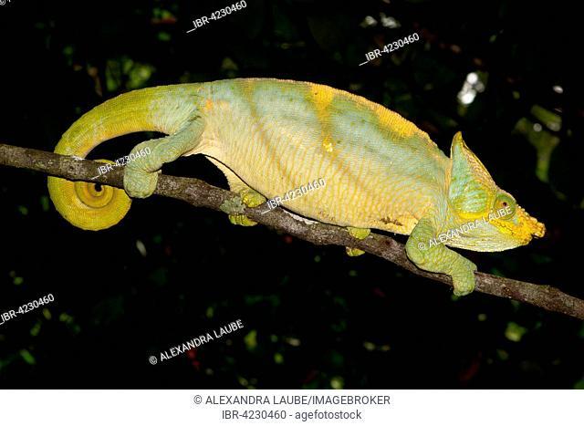 Parson's chameleon (Calumma parsonii parsonii), male, yellow lip colour variant, Ranomafana rainforest, Southern Highlands, Madagascar