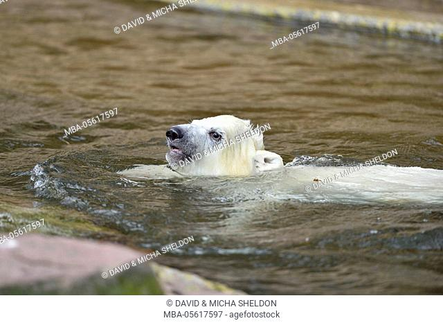 Polar bear, Ursus maritimus, young animal, water, at the side, is swimming