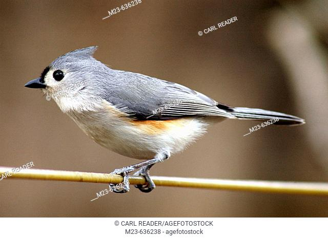 A tufted titmouse  (parus bicolor), gets ready to take off, Pennsylvania, USA
