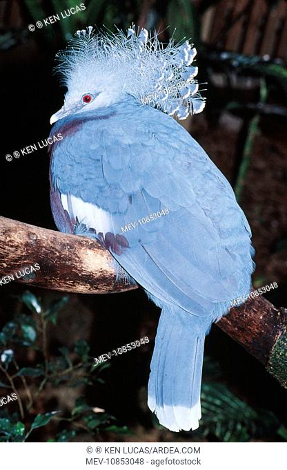 Victoria Crowned Pigeon (Goura victoria). Threatened. Forests of Papua New Guinea