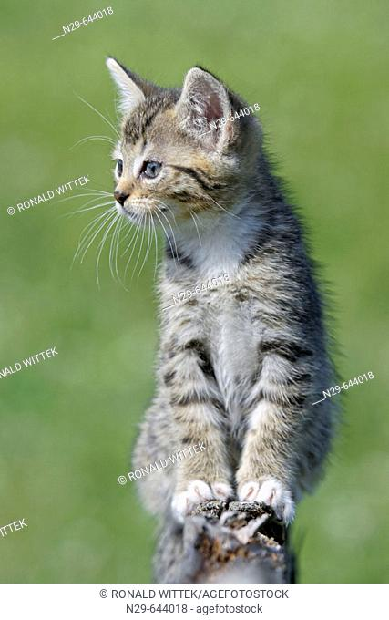 Domestic Cat , Germany, kitten, on a wooden fence
