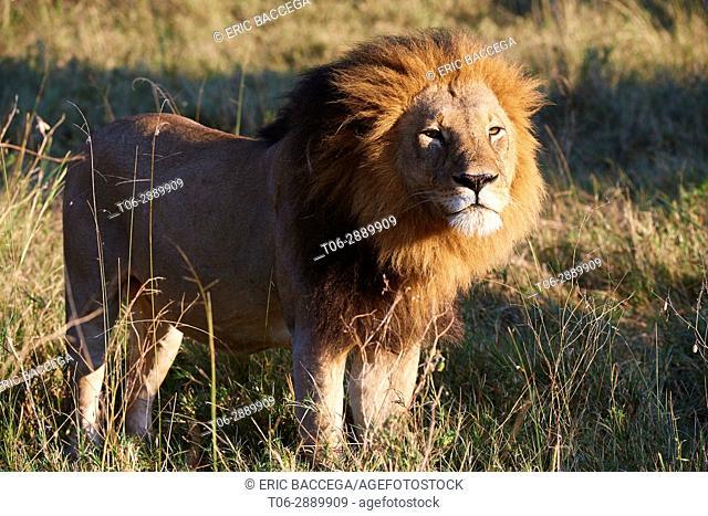 Portrait of African lion (Panthera leo) Okavango Delta, Moremi National Park, Botswana