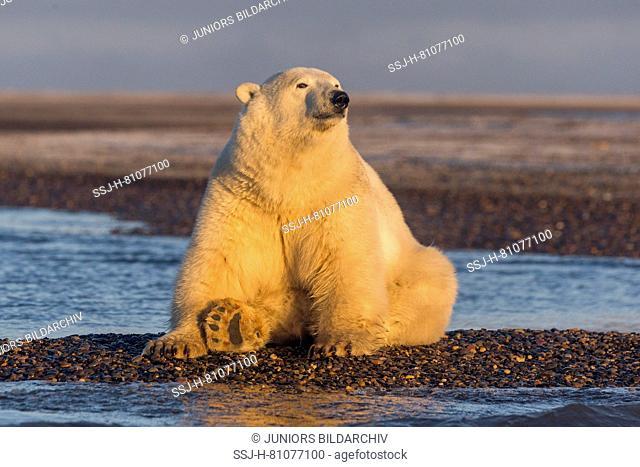 Polar Bear (Ursus maritimus, Thalarctos maritimus) sitting on a barrier island. Kaktovik, Alaska. Every fall polar bears gather near Kaktovik on the northern...