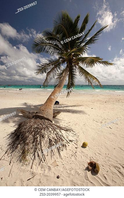Huge palm tree at Tulum public beach, Tulum, Quintana Roo, Yucatan Province, Mexico