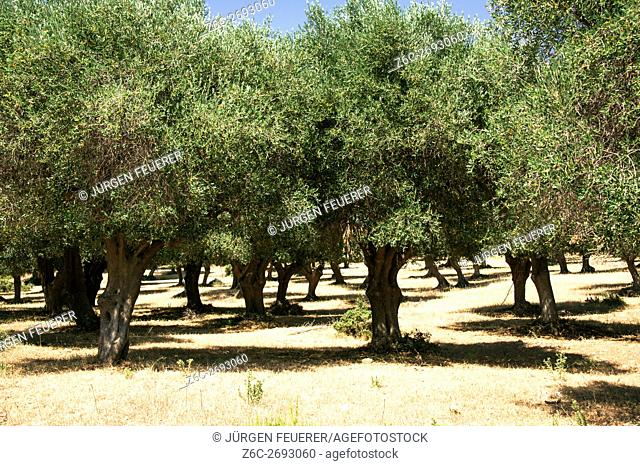 Old olive trees in ancient farming land of Maremma, Albarese, Tuscany, Italy