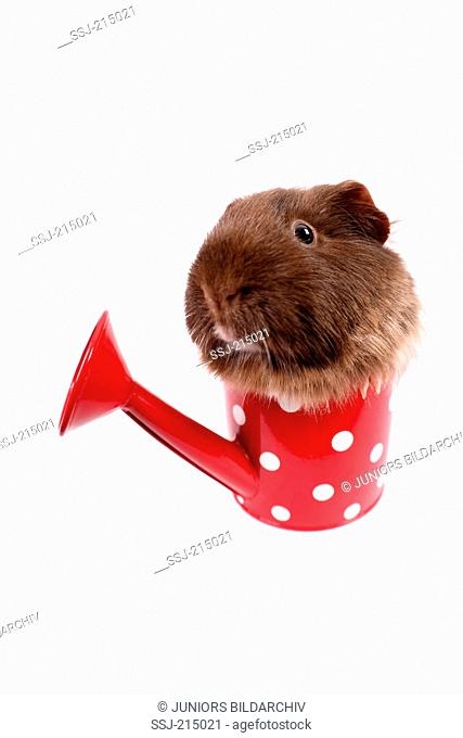 Guinea Pig, Cavie. Adult in a small red watering can with white polka dots. Studio picture against a white background