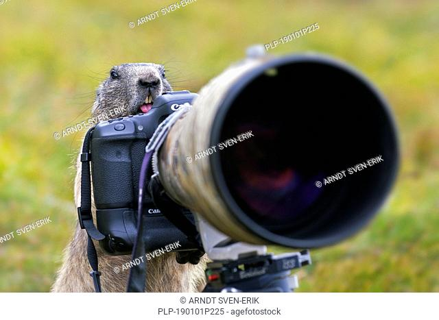 Curious Alpine marmot (Marmota marmota) behind wildlife photographer's Canon camera with large telephoto lens mounted on tripod