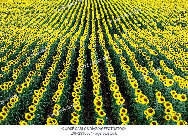 Field of sunflowers, Villar de Sobrepeña, Sepulveda, Segovia province, Castilla-Leon, Spain