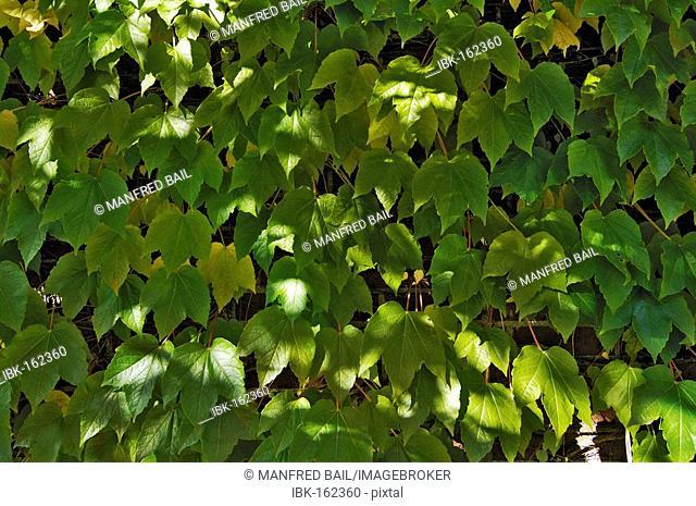 Five-leaved ivy (Parthenocissus quinquefolia)