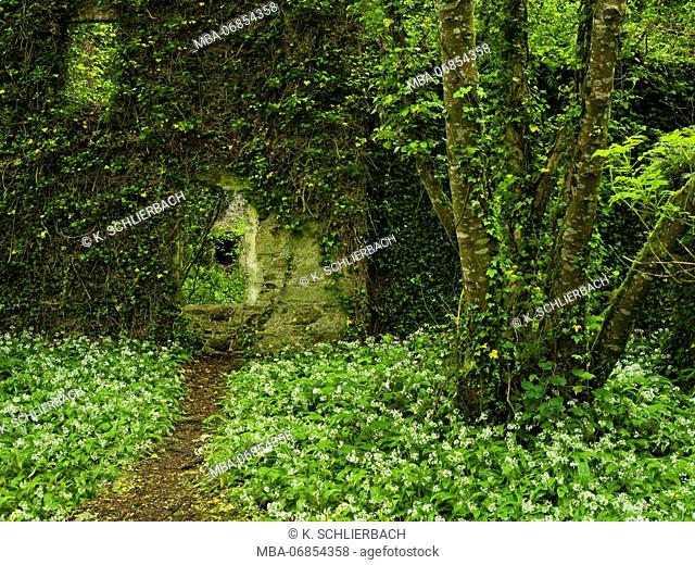 Ireland, Wexford county, ruin in the coastal primeval forest of the Hook pensinsula, view through the wall, blossoming wild garlic, ivy, ferns