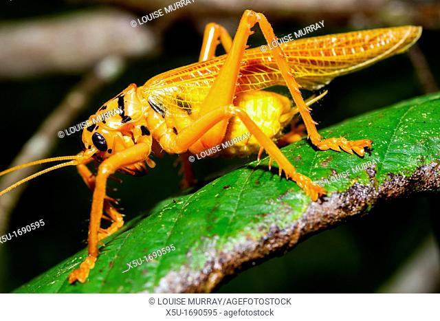 Orange and black Bush cricket Tettigoniidae