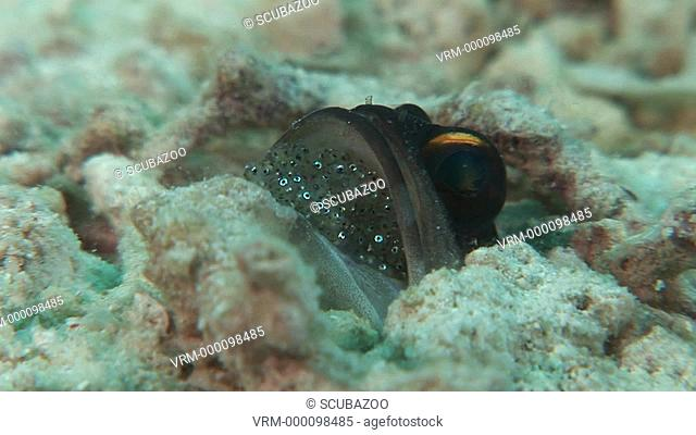 CU Jawfish with eggs in mouth in hole in sand. Kapalai, Borneo, Malaysia