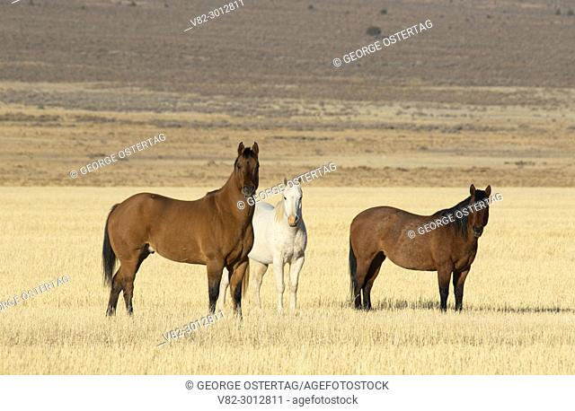 Horses in Cedar Valley, Utah County, Utah