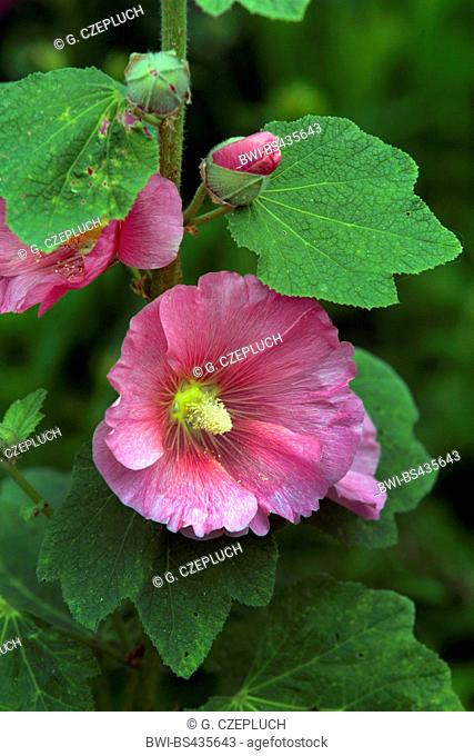 shrubby althaea, rose-of-Sharon (Hibiscus syriacus), blooming