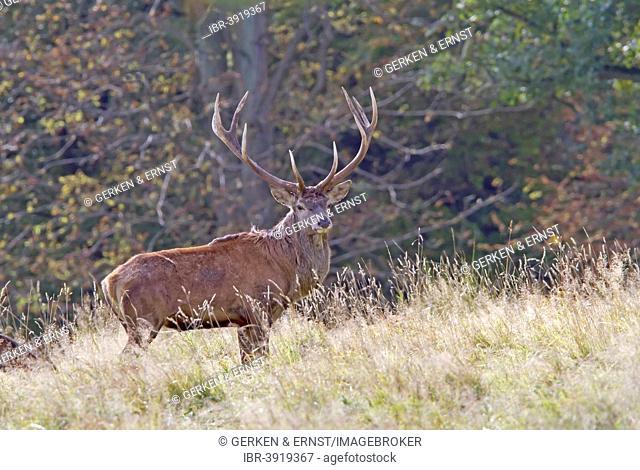Red Deer (Cervus elaphus), stag, Denmark