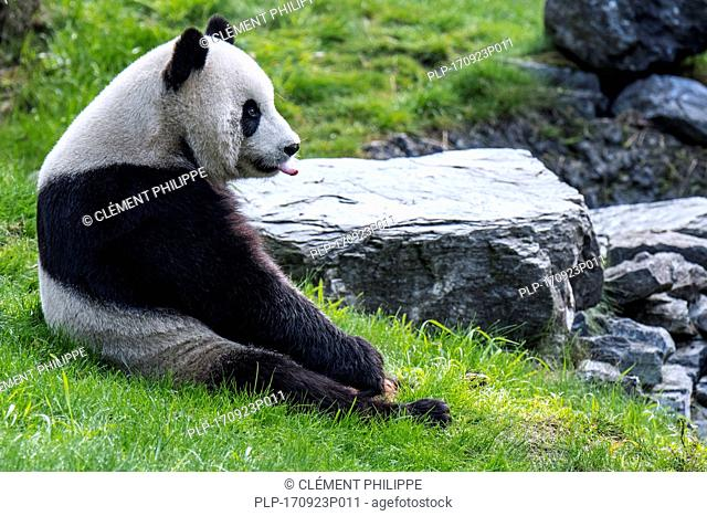 Young giant panda (Ailuropoda melanoleuca) sticking tongue out