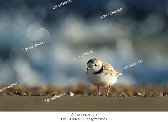 This Piping Plover stopped in some beautiful early morning sunlight a with waves crashing in the background