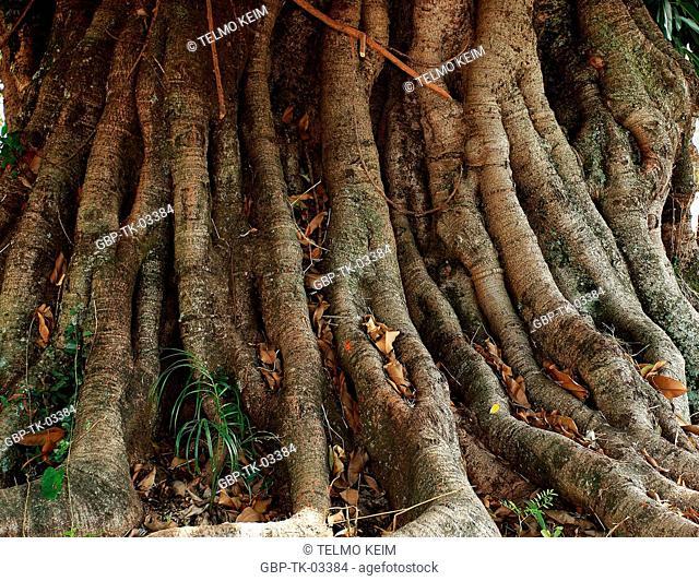 Tree, trunk, stalk, root, wood, Brazil