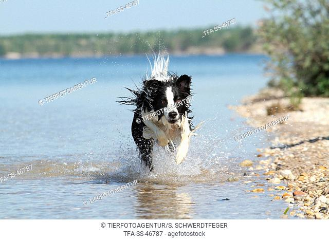 running Border Collie